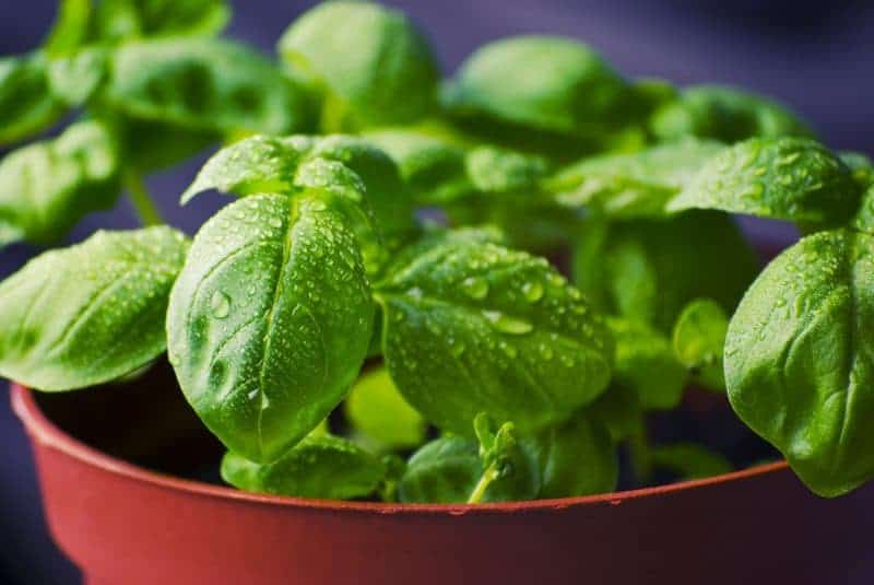 Summer Superfoods You Should be Eating - Basil