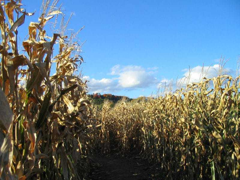 Corn Maze - Autumn Activities for Kids