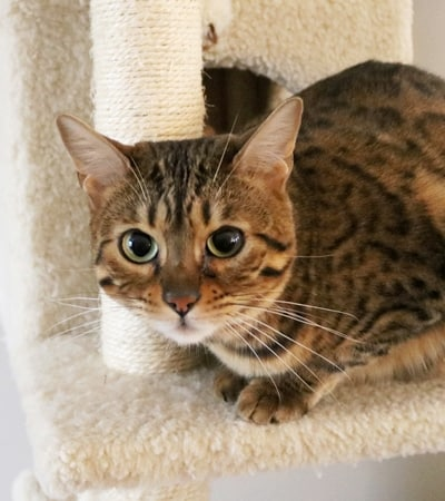 Bengal Cat sitting on cat tree